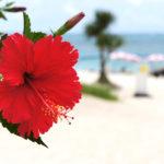 沖縄に咲くハイビスカスの特徴や咲く時期、方言について