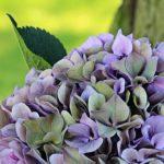 紫陽花の葉っぱが白いのって何の病気!?