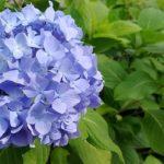 紫陽花の品種レオンの育て方について