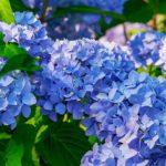 関西版!紫陽花の見頃の時期やおすすめの名所をご紹介!