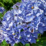 明月院のアジサイの開花時期やアクセス情報、開花状況について