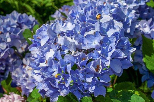 紫陽花 明月院 時期 アクセス 開花状況