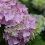 紫陽花って風水的に縁起はいいの?方角は関係ある?
