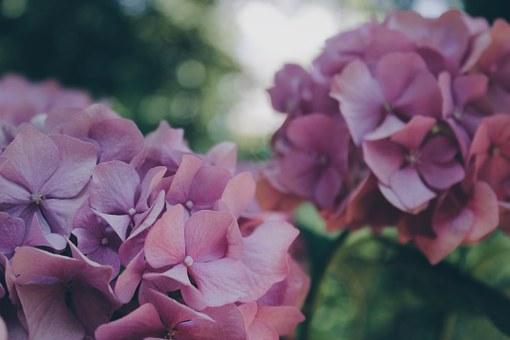 アジサイ 切り花 花束 値段