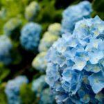 紫陽花の青の品種の一覧まとめ