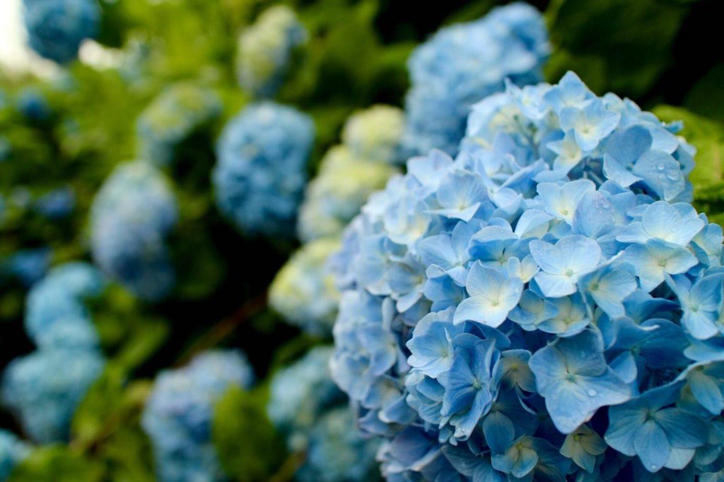 アジサイ 青 品種
