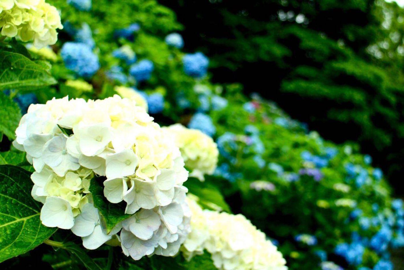 紫陽花 秋 咲き