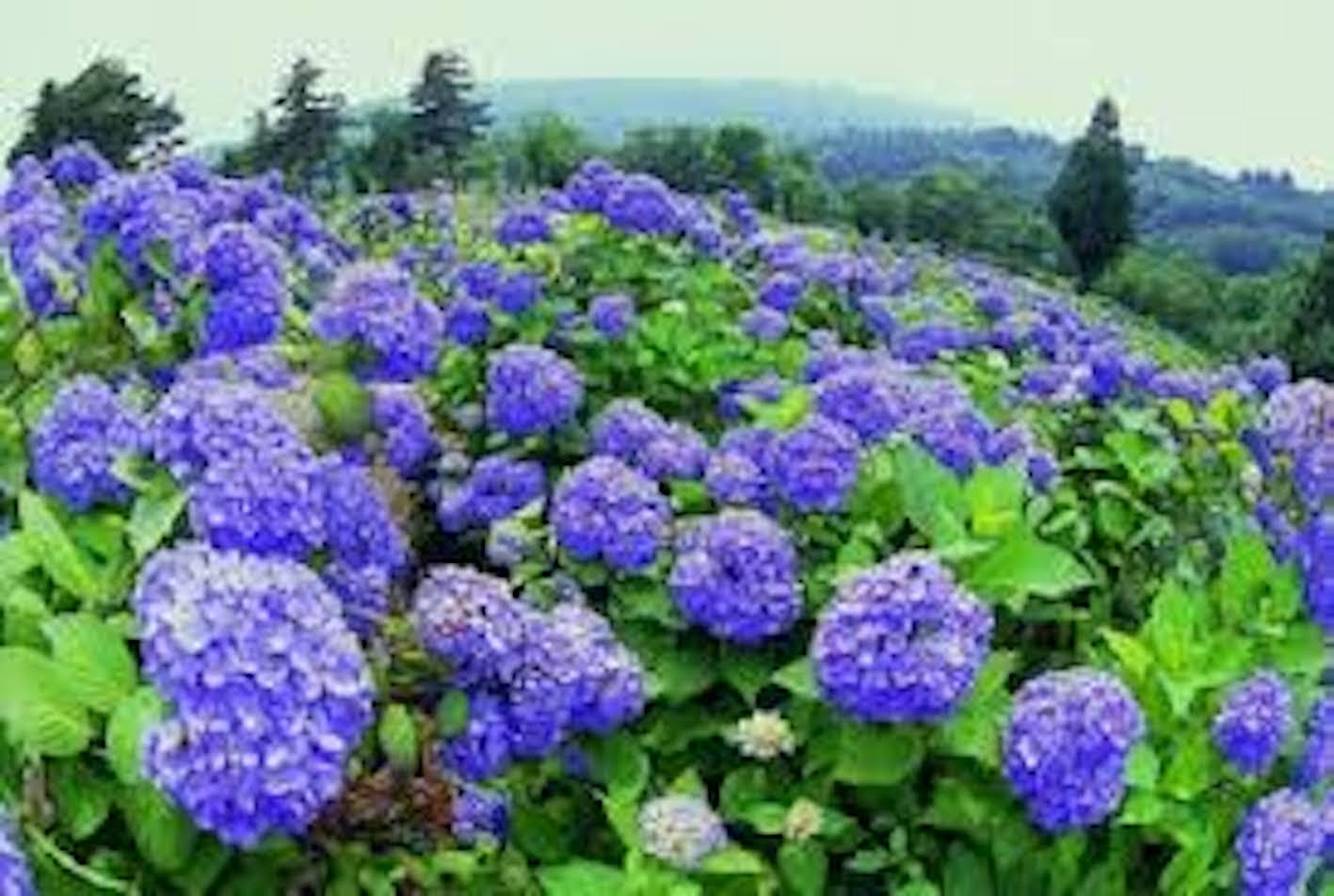 アジサイ 挿し木 時期 花が咲かない