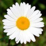 カモミールのアロマで得られる効果や効能について