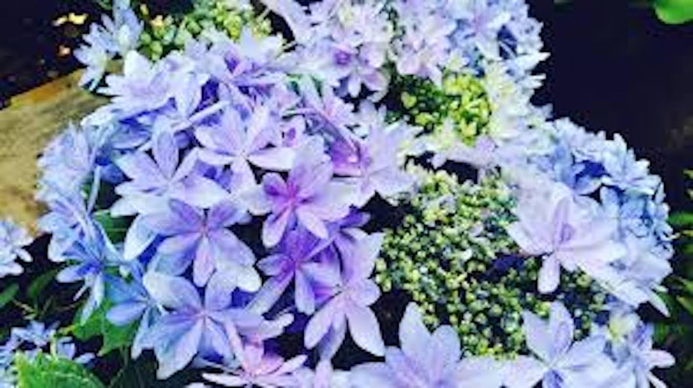 紫陽花 色 花言葉 由来