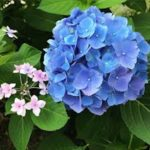 紫陽花の品種「ブルースカイ」ってどんな花!?