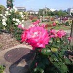 バラの挿し木苗の鉢上げの時期や方法について