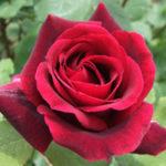 薔薇の葉っぱに黒い斑点が!これって病気!?