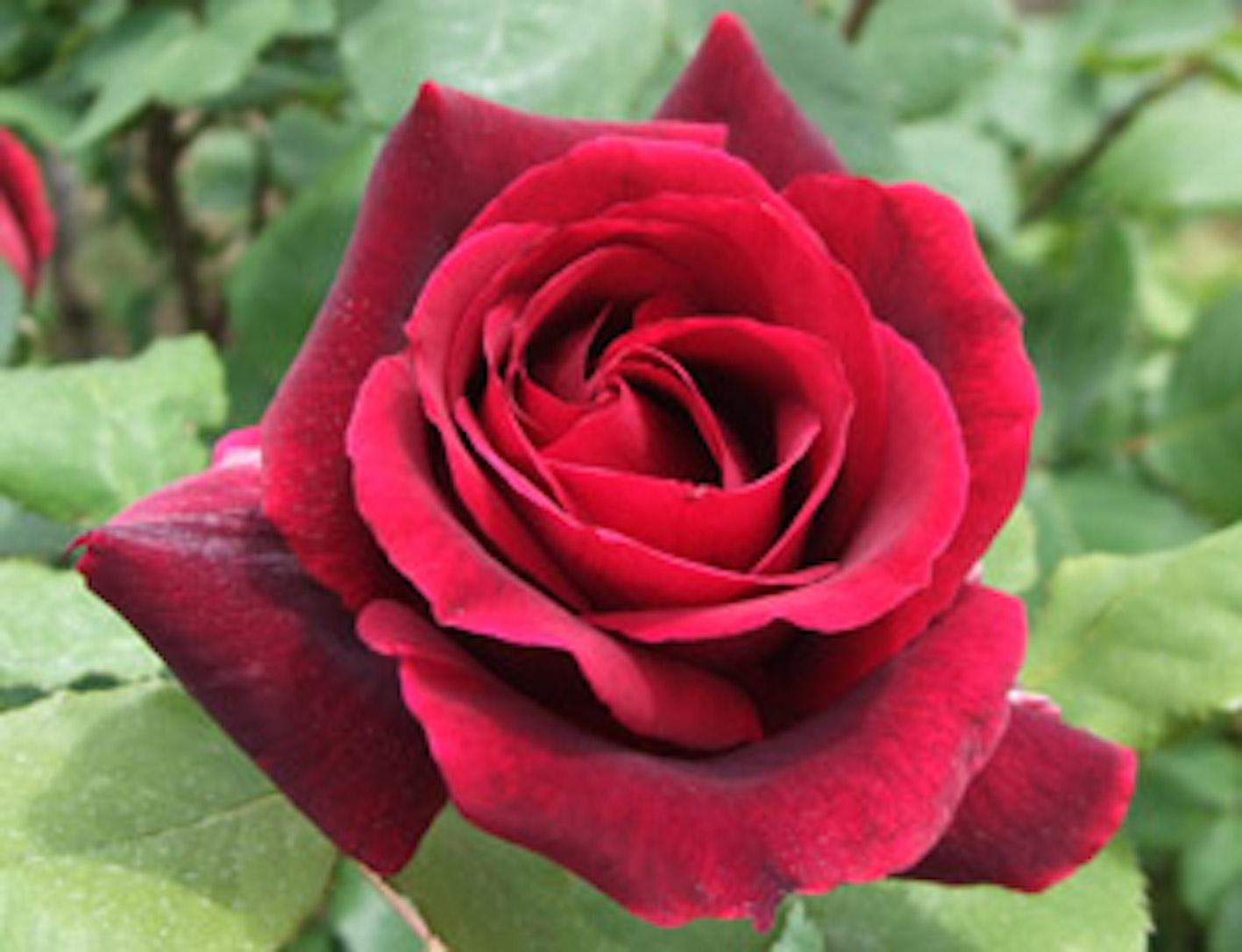 薔薇 葉っぱ 斑点