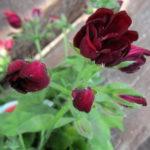 ゼラニウムの花や葉の匂いってどんな匂い!?