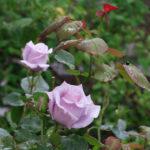 バラの蕾や花が黒くなる原因と対策方法について