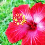 なぜがハイビスカスの花が咲かない!その理由とは!?