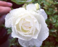 バラ 四季咲き 育て方