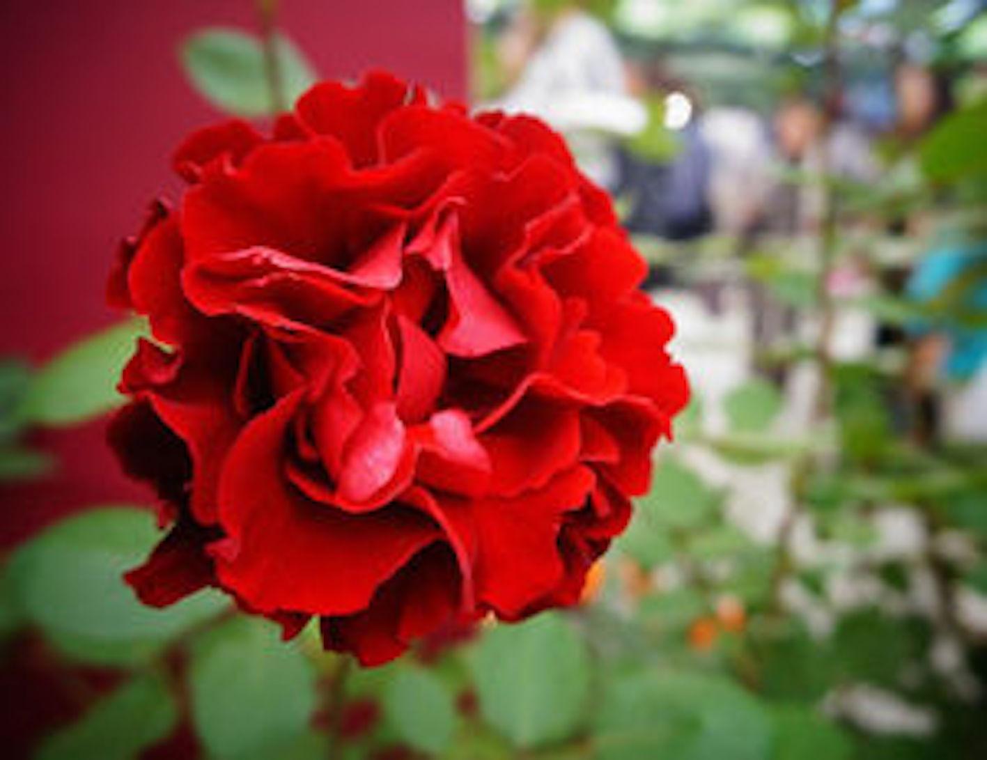 薔薇 葉っぱ しおれる