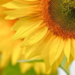 ひまわりが開花するまでの日数や時間、気温は!?