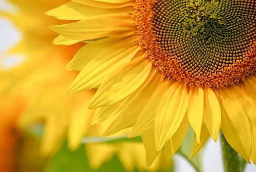 ひまわり 開花 日数 気温 時間