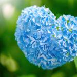 母の日にアジサイの花を送る由来とは!?
