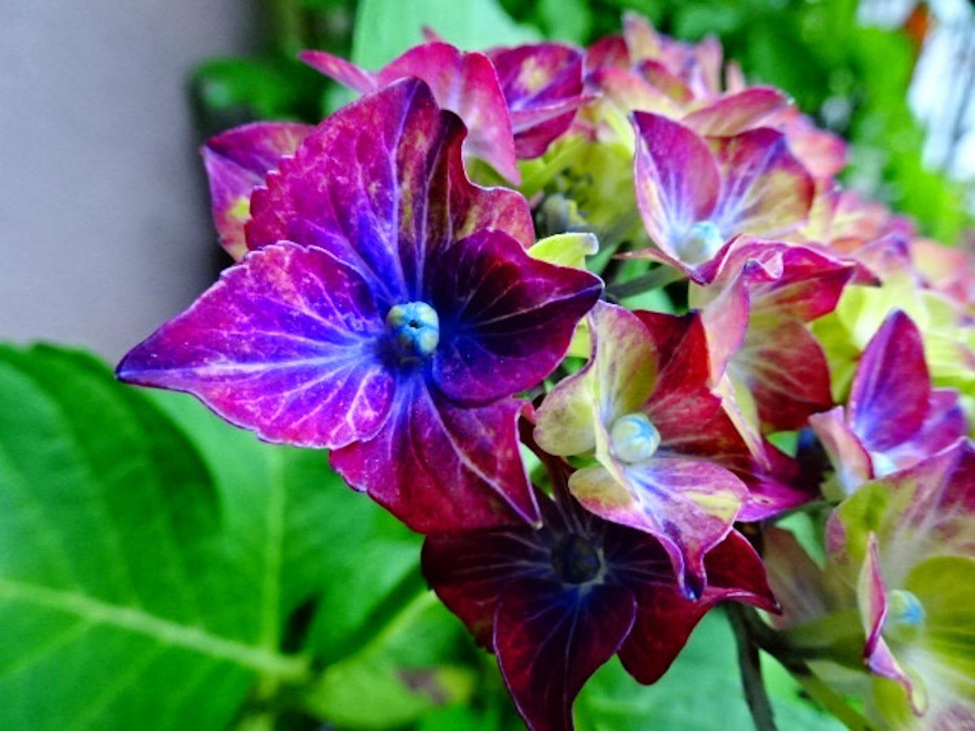 紫陽花 有名 寺