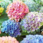 成功する!紫陽花の植え替え方法や時期について