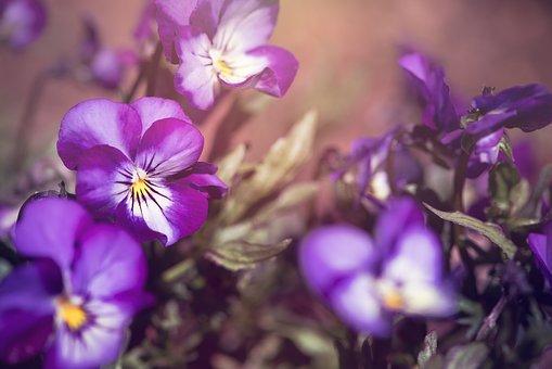 スミレ 種類 紫