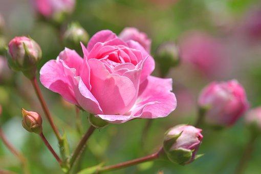 薔薇 フランス語 読み方