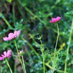 コスモスの花の英語の読み方や名前の由来について