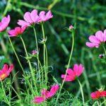 コスモスの色別の花言葉や由来について。怖い意味もある!?