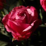 バラの花が蕾のまま開かない原因とは!?