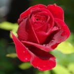 バラの肥料の与え方について。与える時期やおすすめの肥料は?