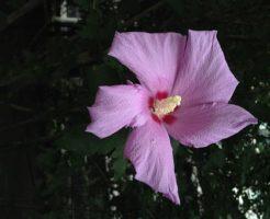 ムクゲ 紫玉 育て方