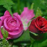 バラの小さい品種ミニバラの種類一覧!
