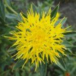 ベニバナの花の特徴や咲く季節、歴史について