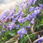 スミレの苗を植える時期や植え方について