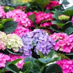 四季咲きアジサイの種類は何があるの!?