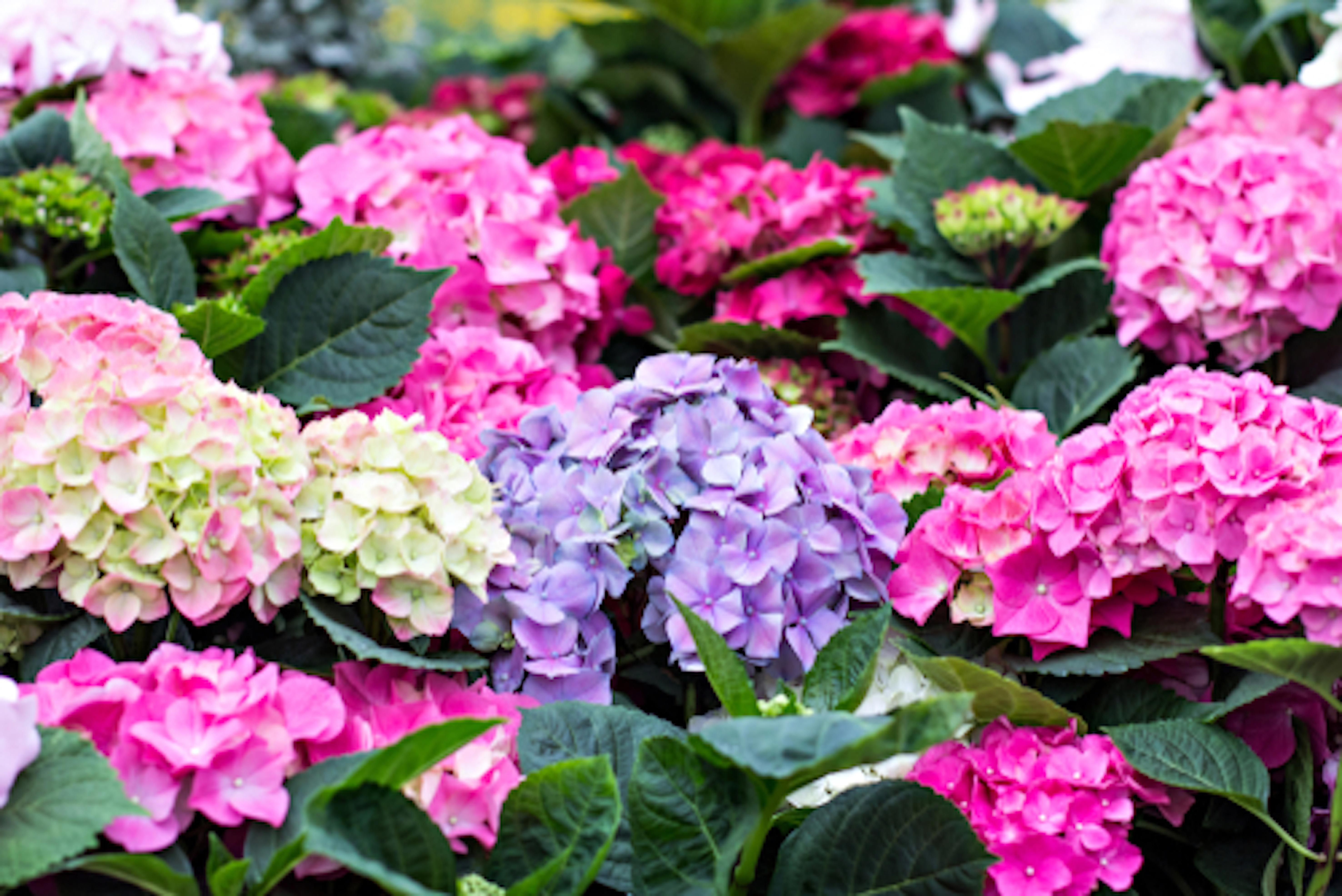 四季咲き アジサイ 種類