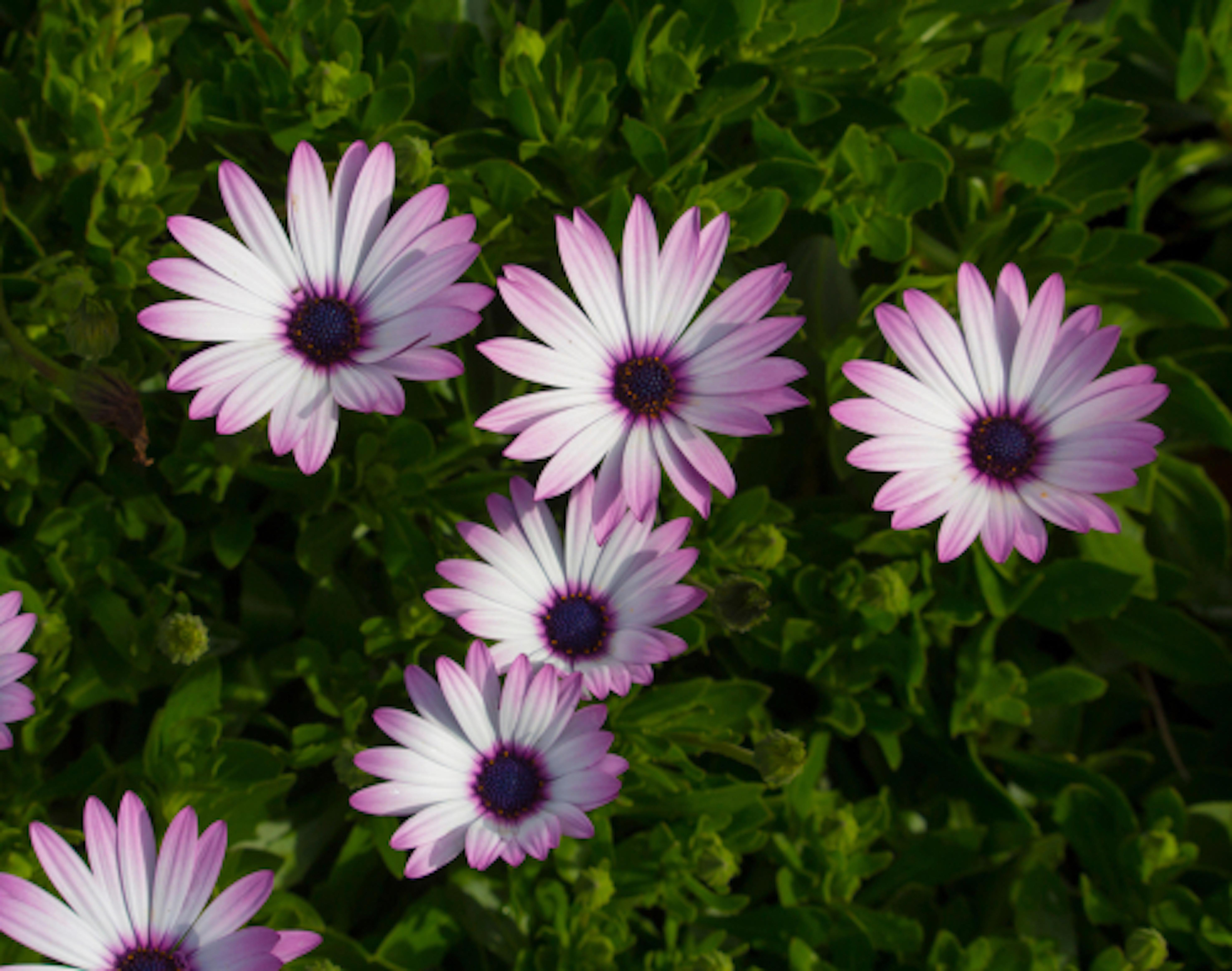 ガーベラ ピンク 品種