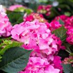 紫陽花の品種「ホットチボリ」の育て方。