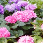 北海道の紫陽花の育て方や越冬方法について