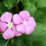 ニチニチソウの育て方。肥料の種類や与え方について