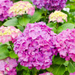 紫陽花の挿し木は切り花を植えても大丈夫なの!?