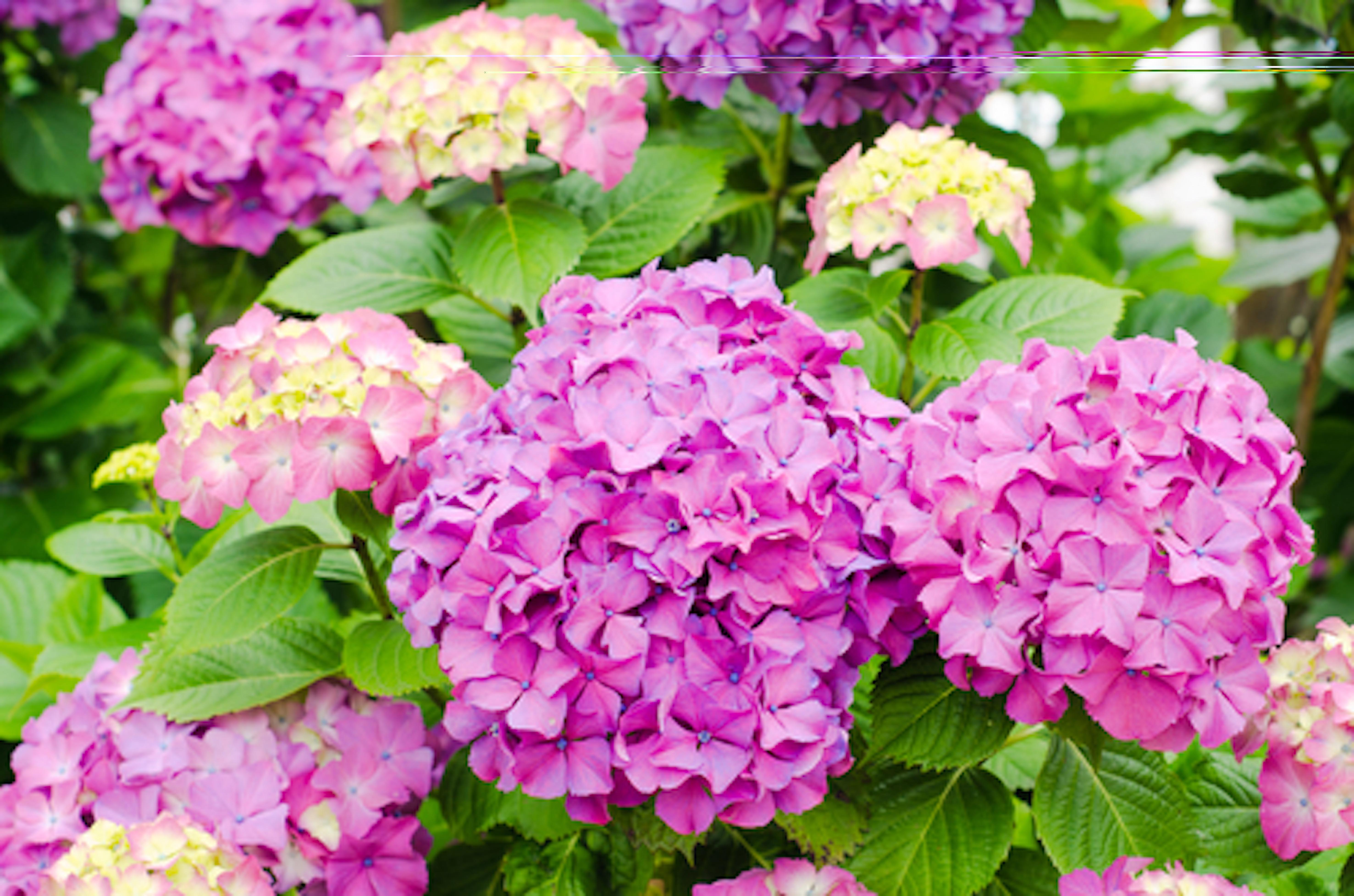 アジサイ 切り花 植える