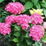 アジサイの花芽と葉芽について。違いは何!?