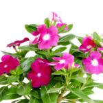 ニチニチソウの色別の花言葉や由来について