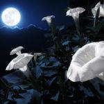 夜顔のたねの収穫方法や時期について