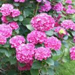 紫陽花に発生するハダニの駆除方法について